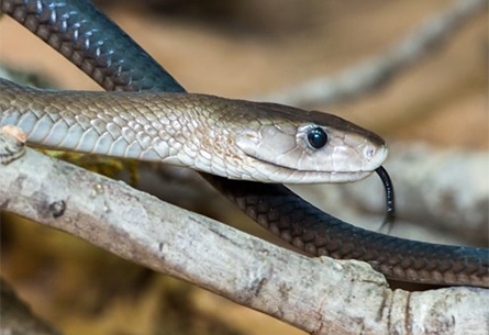 A Black Mamba snake, hissing its' approval